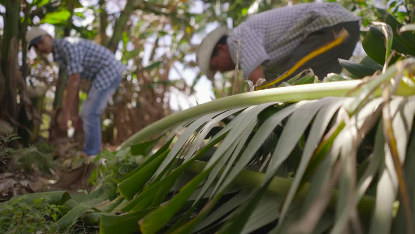 Farming and cultivations in Latin America. Two hispanic farmers, father and son, lift a green banano (platano) tree and move it away. Closeup of leaves and ground
