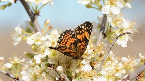 Tiny Gorgone Checkerspot butterfly feeding on white flowers of wild plum in early spring