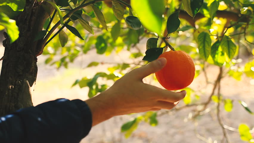 Hand picking an orange from a tree.