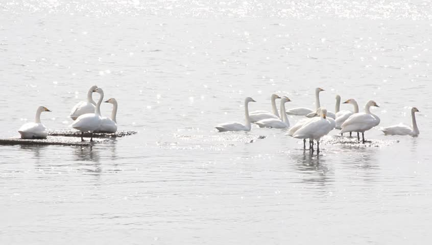 A flock of swans on the river | Shutterstock HD Video #15576790