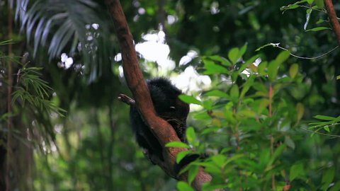 The binturong (Arctictis binturong), also known as bearcat, is a viverrid native to South and Southeast Asia, has been assessed as vulnerable on the Red List. Bearcat binturong on the tree footage.
