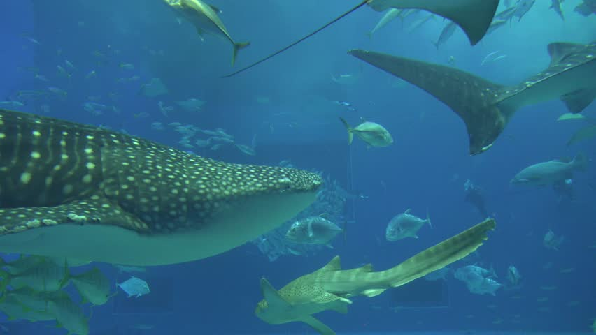big Whale Shark swimming Okinawa Aquarium Japan