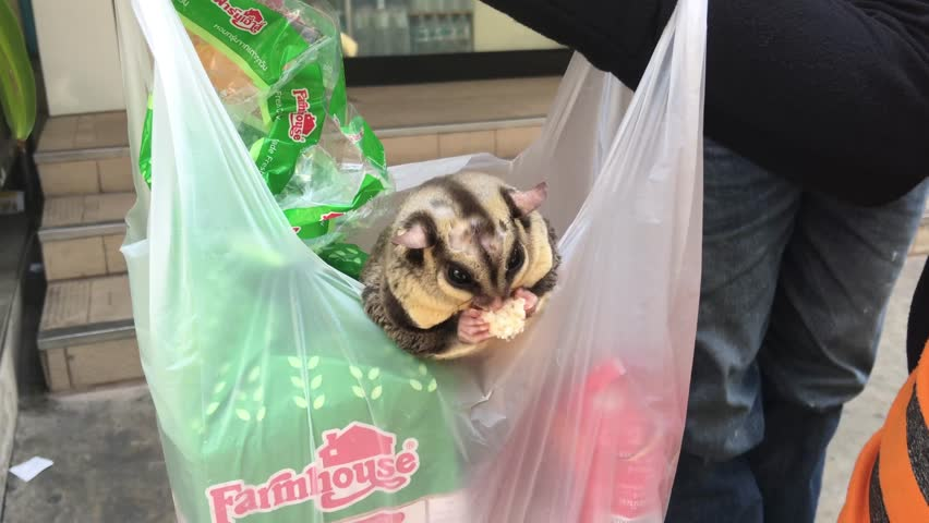 Sugar glider keeping as a pet and eating bread in the streets of Bangkok, Thailand