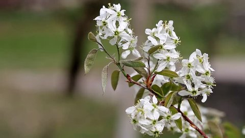 Amelanchier canadensis in bloom in spring