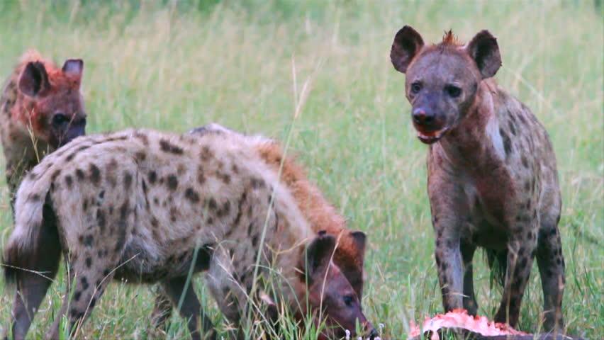 Locked off mid shot of hyenas feeding on a carcass