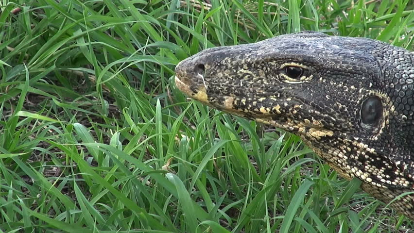 Zoom In And Out To A Monitor Lizard's Eye. Zoom in to an Asian Water Monitor Lizard's (Varanus salvator) head and eye, then a quick zoom out again.