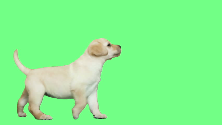 Labrador puppy is playing on green screen | Shutterstock HD Video #15856300