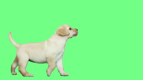 Labrador puppy is playing on green screen