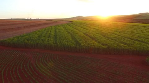 sugar cane plantation in sunset in Brazil -  aerial view - Canavial