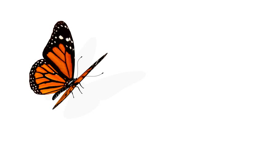 Butterfly Animation Stock Footage Video 159100