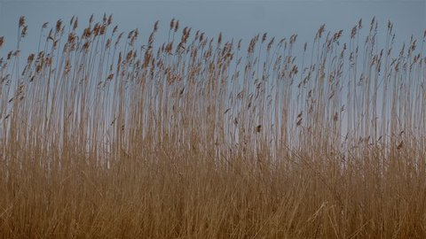 Sunset Through the Reeds. Silver feather grass swaying in wind. Wind blowing in the reed.  Filmed in the afternoon, just before sunset.Marsh grass swaying in the breeze