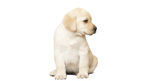 funny labrador puppy with tongue sticking out sitting on a white background