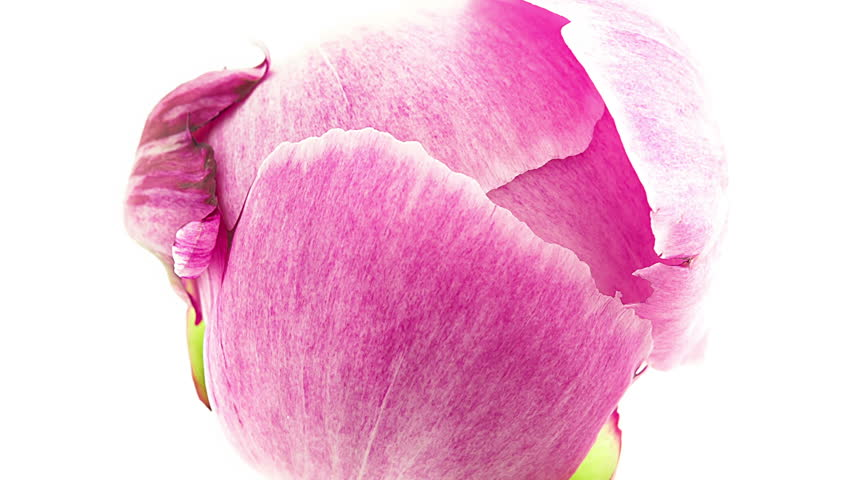 Timelapse of pink peony flower blooming on white background top view