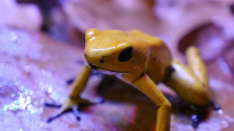 Golden Poison Arrow Frog. The golden poison frog, Phyllobates terribilis, also known as the golden frog, golden poison arrow frog, or golden dart frog, is a poison dart frog endemic to Colombia.