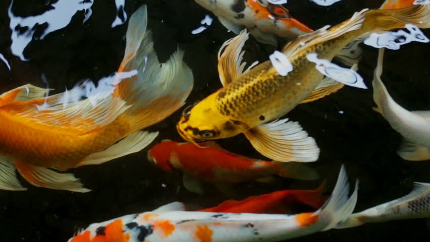 Koi fish fancy carp fish swimming in the pond top view for Koi fish to pond ratio