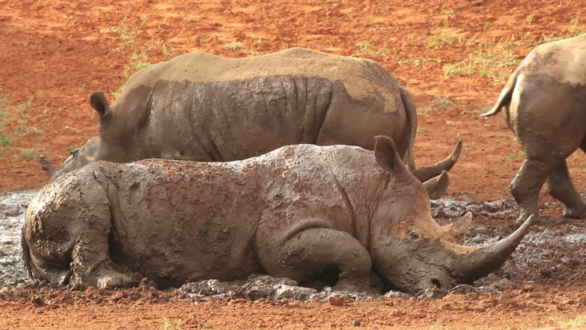 White (square-lipped) rhinoceros (Ceratotherium simum) wallowing in mud at a waterhole, South Africa