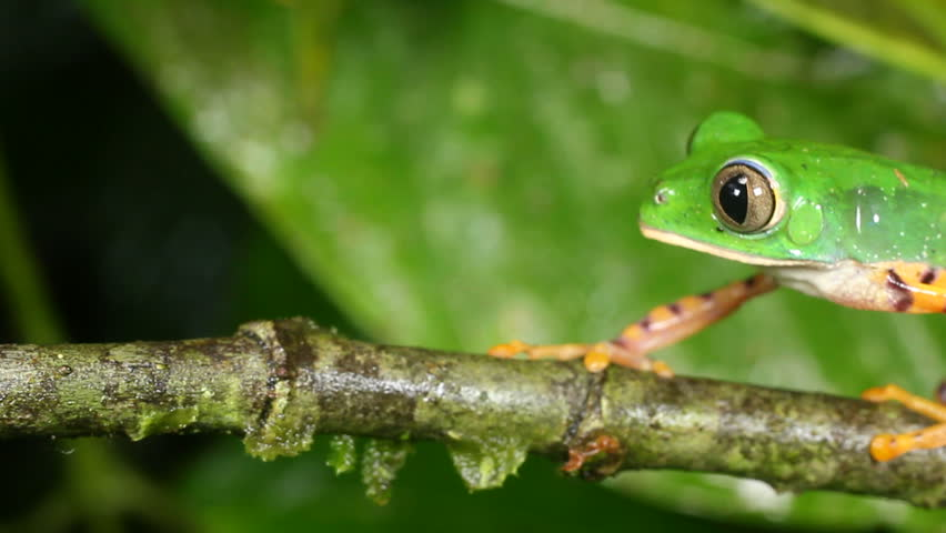 Tiger-striped Leaf Frog (Phyllomedusa tomopterna). Jumps off a branch  in rainforest, Ecuador