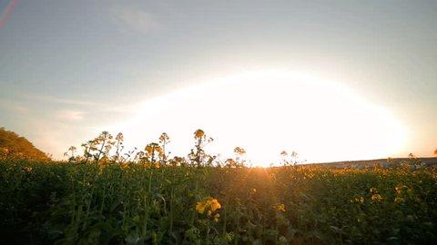 Yellow rape at sunset