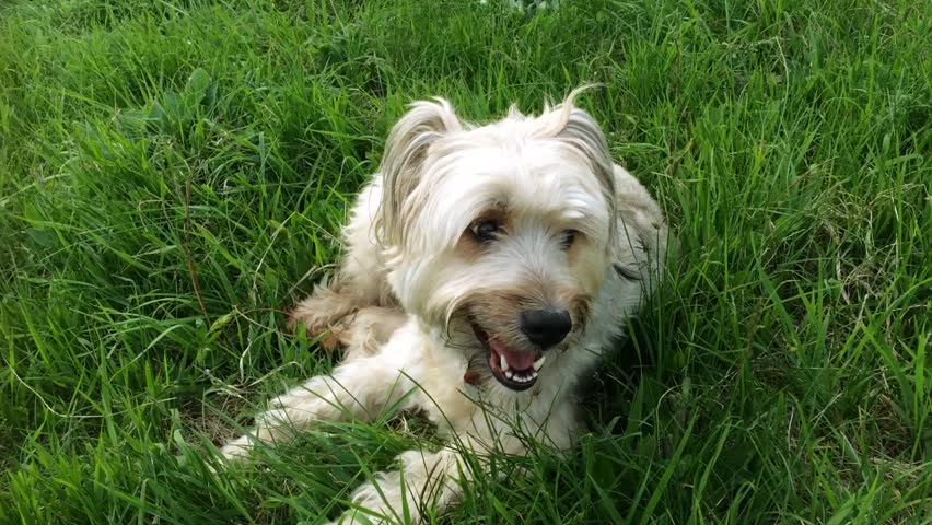 Dog sitting in grass, summer heat background | Shutterstock HD Video #16290460