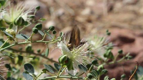 Hawk moth on caper Close shot of Hawk moth on caper
