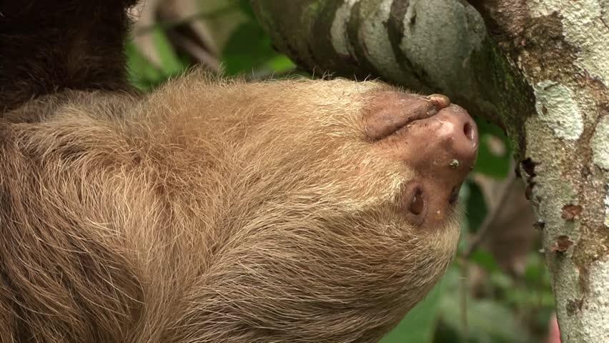 Header of sloth