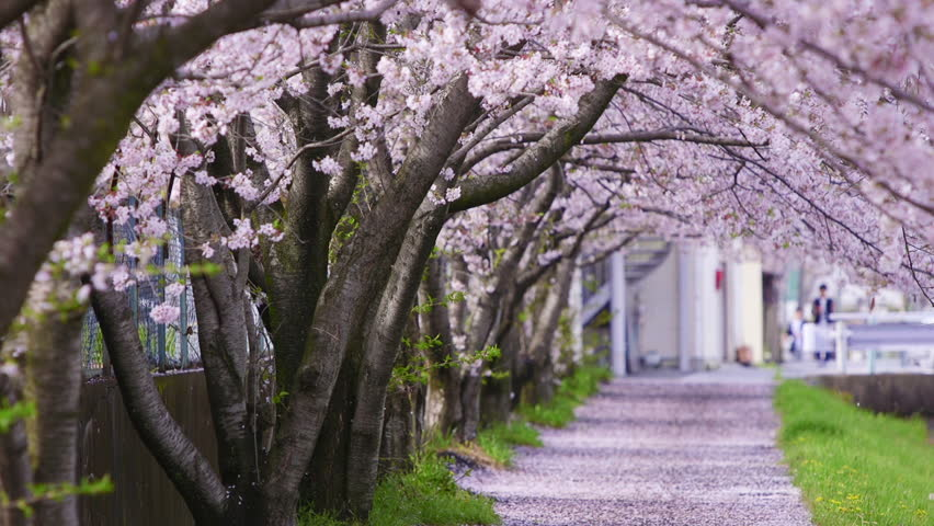 Cherry Blossoms Shower in Spring Wind, 60fps