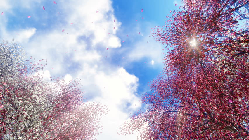 Motion through flowering sakura cherry trees and falling pink petals to the bright sunny sky at spring day. Realistic 3D animation.