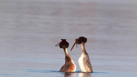 Great Crested Grebe, live sound