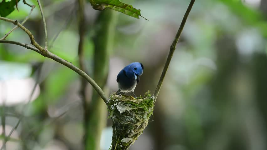 Best of blue bird, black nape monarch or black-naped blue flycatcher feeding their chicks in the nest with live and care, parents exchange duty to feed their chicks,love bird | Shutterstock HD Video #16521730