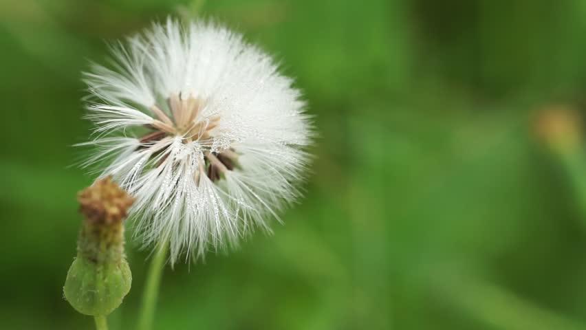 Beautiful White Grass Puffball Flower Stock Footage Video 100