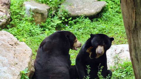 malayan sun bear or honey bear in mating season