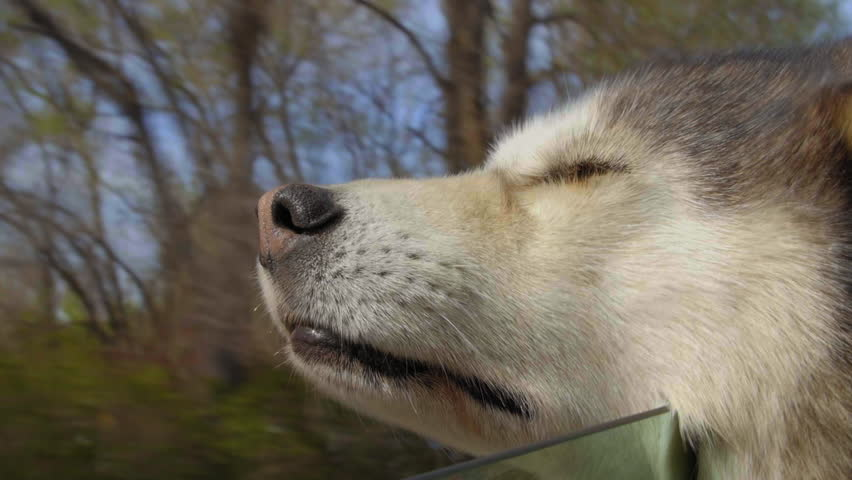 Close up of dog pup with head out a car window, passing by trees and houses