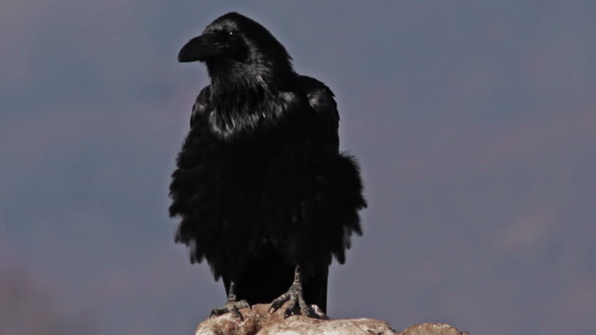 The largest European song bird species - Raven (Corvus corax) perched on a lonely rock in the mountain.