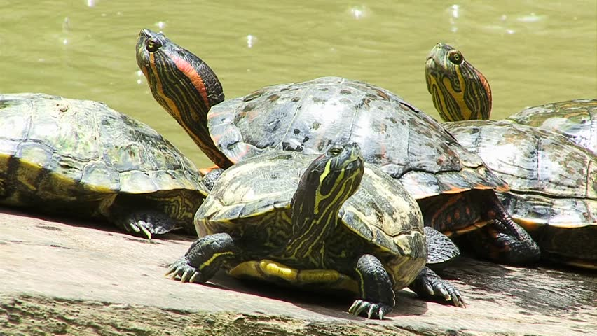 Freshwater Turtles paying attention