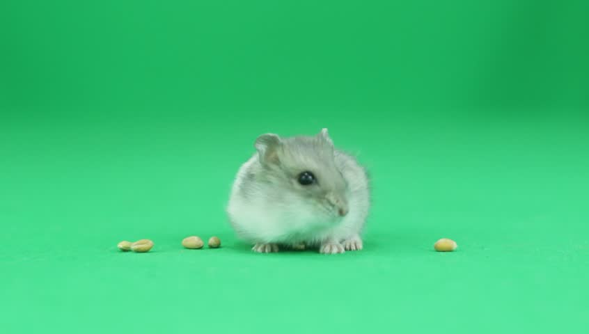 Hamster on a green background #16744810