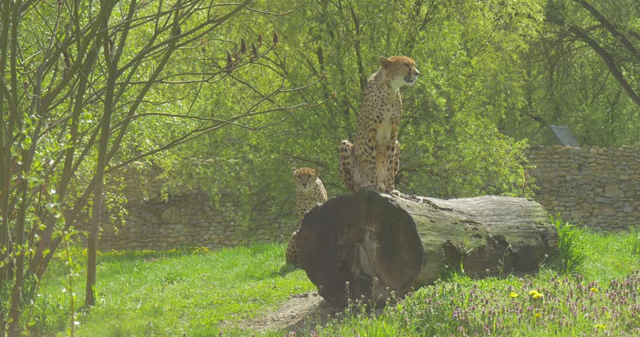 Two African Leopards (Pantera Pardus) Are Sitting Concerned. One Leopard is Sitting on the Tree Log and the Other Leopard is Hiding in the Back. a Bird Flys Over the Leopards Heads. Shining Weather.
