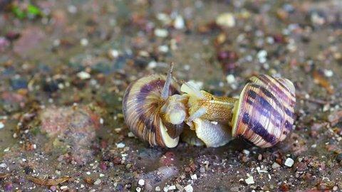 Snail Couple. Snail Lovers. Snail Couple Make Love. Close up.