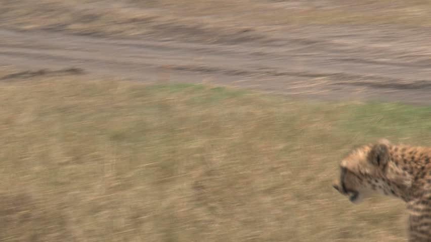 Cheetah walking #1686490