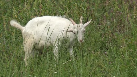 Young White goats grazing on green meadow at edge of farms