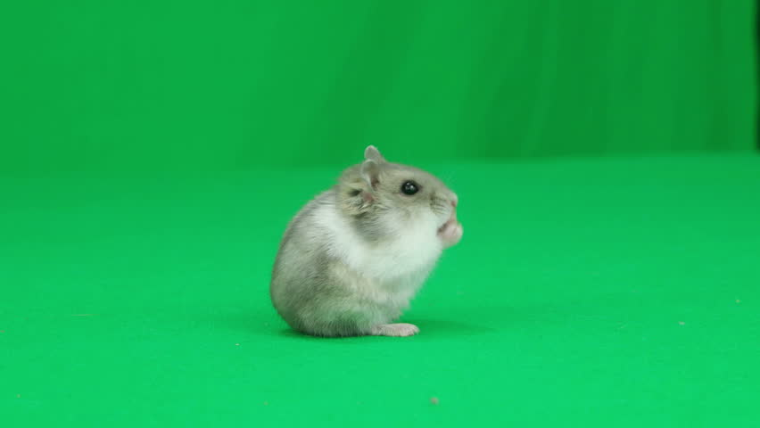 Hamster standing on the green screen   Shutterstock HD Video #16914943