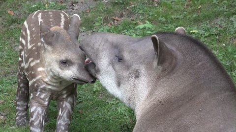 Tapir mother (Tapirus spec.) lovely kisses young cute baby Tapir close up /  Tapir mother with young cute baby closeup