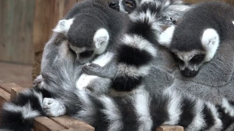4k UHD Ring-Tailed lemures (Lemur catta) sleeping in a group close together. Close up panning view /  Ring-Tailed lemures sleeping group closeup panning