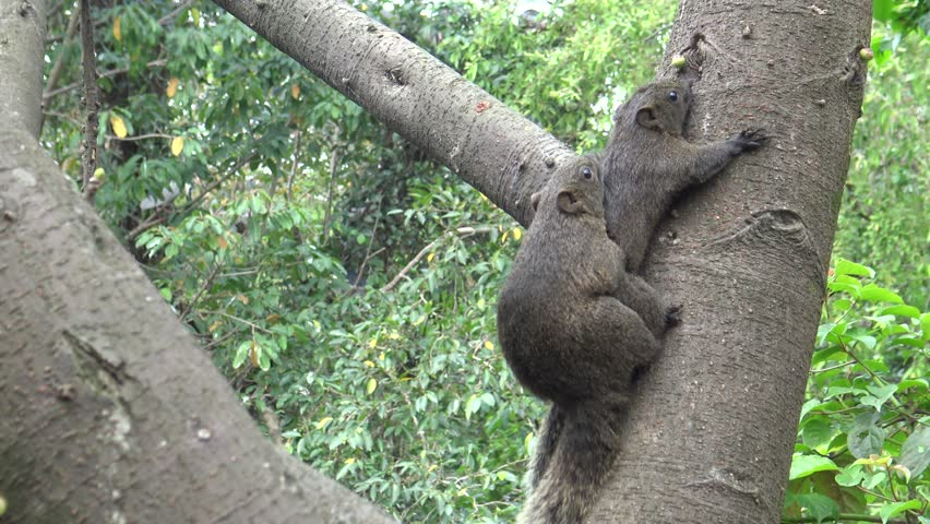 4k, Pallas's squirrel have sex in the tree of the Daan park forest, Taipei city -Dan