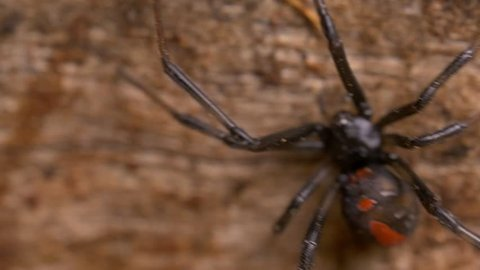 Deadly Redback Spider. Australia