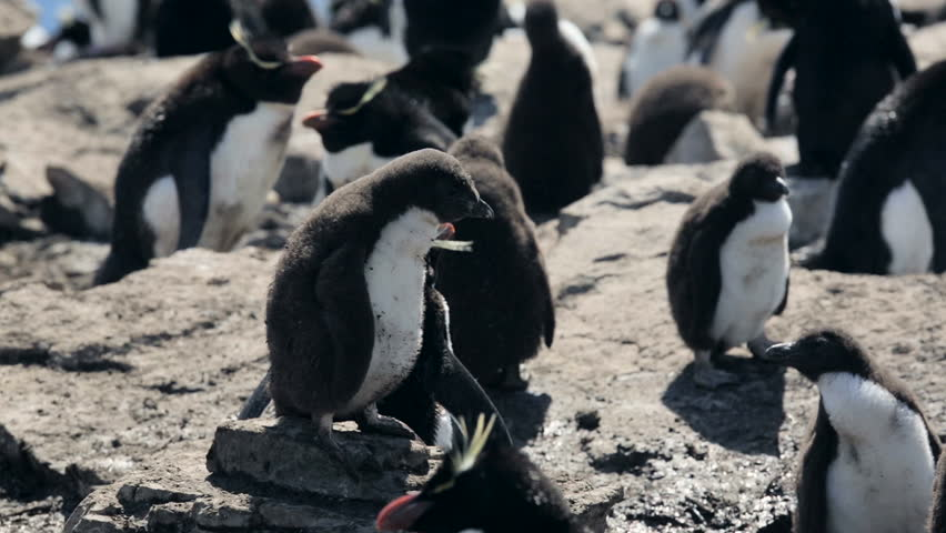 A Rockhopper penguin chick in Falkland Islands