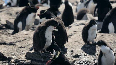A Rockhopper penguin chick in Falkland Islands
