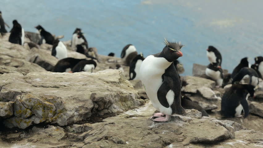A Rockhopper penguin hopping on some rocks in Falkland Islands