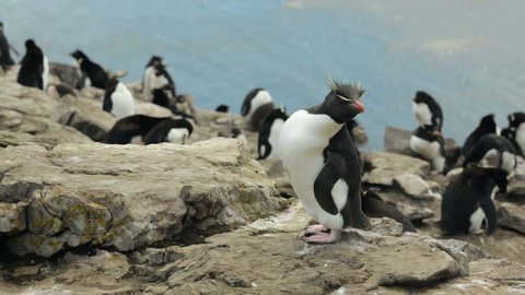 A Rockhopper penguin hopping on some rocks in Falkland Islands