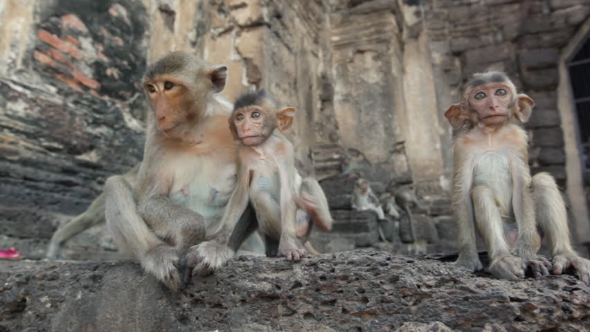 Lopburi city in Thailand, thousands of macaque monkeys live in freedom. During the monkeys festival. In the temple Phra Prang Sam Yod, a female and babies watch other community members