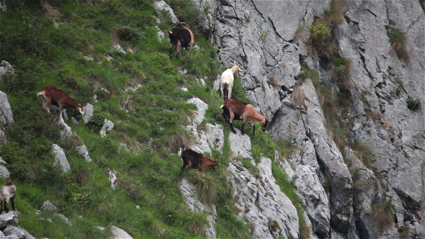 Mountain goats climbing grazing steep cliff Asturias Northern Spain